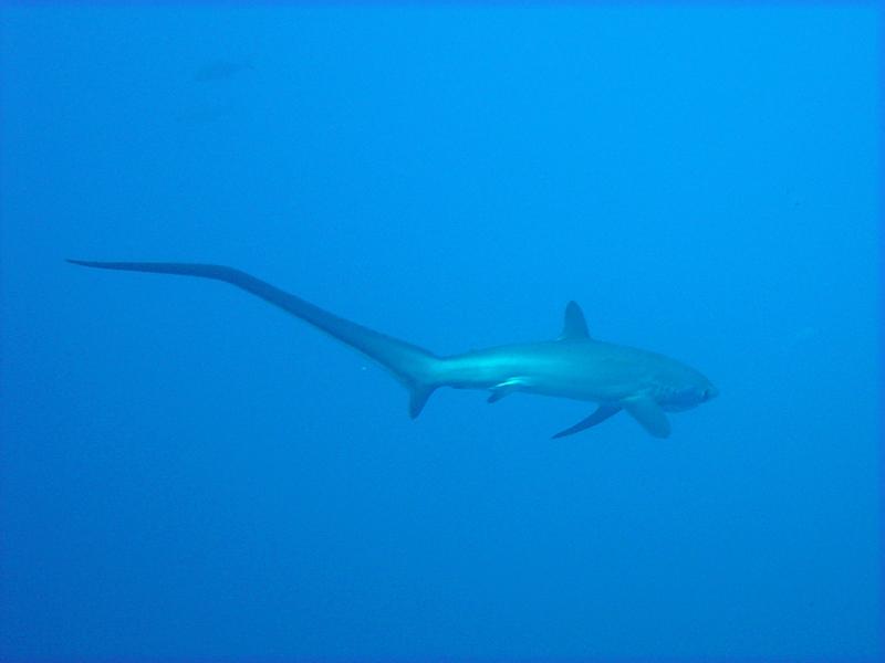 Shark in